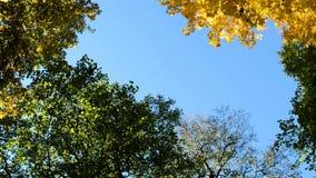 Gele en groene esdoornbomen in daling op een blauwe hemel, cameraomwenteling, exemplaarruimte stock videobeelden