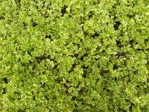 Gele en groene kleurenbladeren van Euonymus-installaties Stock Foto's