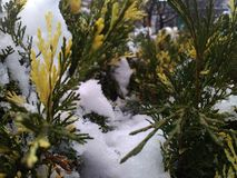 Gele en groene naalden & sneeuw stock foto's
