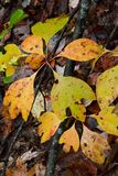 Gele en groene natte sassafrasbladeren in de herfst royalty-vrije stock foto's