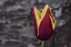 Gele en Kastanjebruine Tulip Flower Royalty-vrije Stock Afbeelding