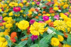 Gele en kleurrijke bloemen Stock Foto's