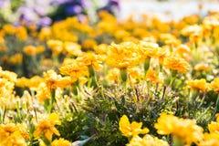 Gele en oranje Goudsbloembloemen, Tagetes stock fotografie