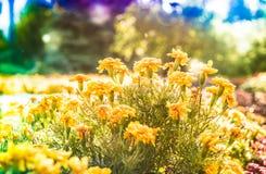 Gele en oranje Goudsbloembloemen, Tagetes royalty-vrije stock afbeeldingen