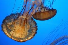 Gele en Oranje Jelly Fish (Kwallen of gelei) in het buueoverzees Kleurrijke Wereld stock foto's