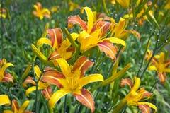 Gele en Oranje Lelies Royalty-vrije Stock Afbeelding