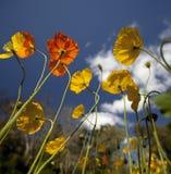 Gele en Oranje Papavers Royalty-vrije Stock Foto's