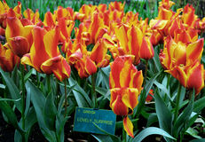 Gele en oranje tulpen royalty-vrije stock foto