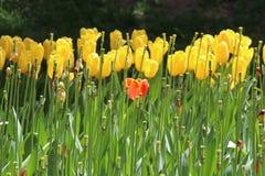 Gele en oranje tulpen Stock Foto