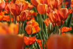 Gele en oranje tulpen op een gebied in zonneschijn stock fotografie