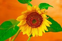 Gele en oranje zonnebloem stock afbeelding