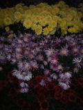 Gele en purpere bloemen Royalty-vrije Stock Afbeeldingen