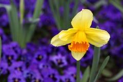 Gele en purpere bloemen Stock Afbeeldingen