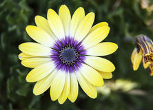 Gele en Purpere Chrysant stock afbeeldingen