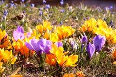 Gele en purpere de lentekrokus Royalty-vrije Stock Afbeelding