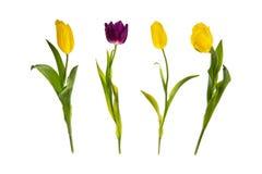 Gele en purpere die tulpen op een rij, op witte achtergrond worden geïsoleerd Royalty-vrije Stock Afbeelding