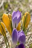 Gele en purpere krokussen Royalty-vrije Stock Afbeeldingen