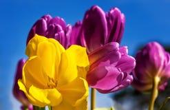 Gele en Purpere Tulpen Stock Foto's