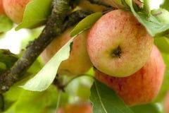 Gele en rode appel op een boom in boomgaard stock foto
