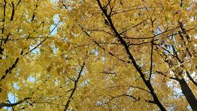 Gele en rode bladeren in de herfst bij zonnige dag stock videobeelden