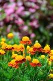 Gele en rode bloem op de achtergrond van tuin Purpere bloemen Stock Fotografie