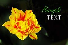 Gele en rode bloem op donkergroene achtergrond Stock Foto