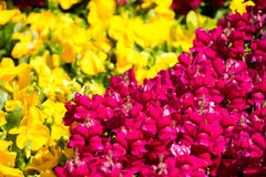 Gele en Rode Bloemenachtergrond Stock Fotografie