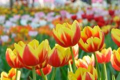 Gele en rode dichte omhooggaand van de tulpenbloem Royalty-vrije Stock Afbeelding