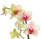 Gele en rode orchideebloemen stock afbeeldingen