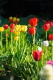 Gele en rode tulp in de tuin Royalty-vrije Stock Afbeelding