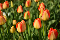 Gele en rode tulpen Stock Afbeeldingen