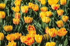 Gele en rode tulpen op een gebied stock foto's