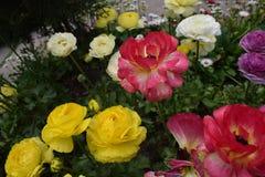 Gele en rode witte rozen Stock Foto's