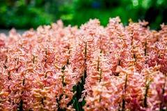 Gele en room witte tulpen van Holland Stock Foto's