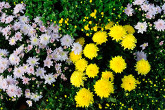 Gele en roze chrysant Royalty-vrije Stock Afbeeldingen