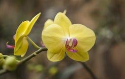Gele en Roze Doritaenopsis-Orchideebloesems royalty-vrije stock afbeelding