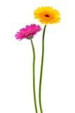 Gele en roze gerber stock afbeelding