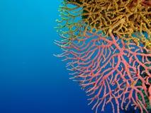 Gele en roze koralen Stock Afbeelding