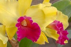 Gele en roze orchidee in Thailand Stock Afbeelding