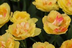 Gele en roze tulp Stock Foto's