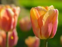 Gele en roze tulp royalty-vrije stock afbeelding