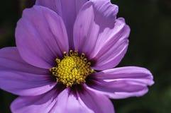 Gele en violette bloem Royalty-vrije Stock Afbeeldingen