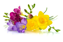 Gele en violette fresia op wit Stock Foto
