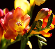 Gele en violette fresia op zwarte Stock Fotografie