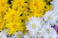 Gele en witte asterbloem Royalty-vrije Stock Afbeeldingen