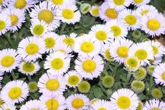 Gele en witte bloemen Stock Afbeeldingen
