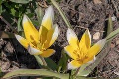 Gele en witte bloemen van Tulipa Tarda, recente wilde tulp of tarda met bloeiwijze van gele bloemen in volledige bloei het groeie royalty-vrije stock afbeelding