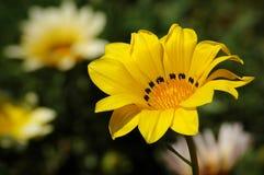 Gele en witte bloemtuin Stock Afbeelding