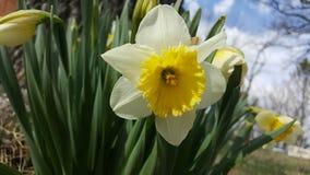 Gele en witte gele narcis Stock Foto