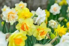 Gele en Witte Gele narcissen Stock Foto's